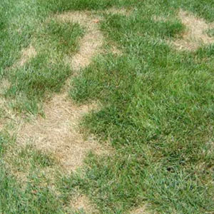 Lawn grass with insect damage Kent Sittingbourne UK